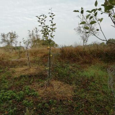 Arbres en agroforesterie