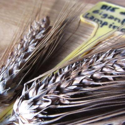 Céréales anciennes